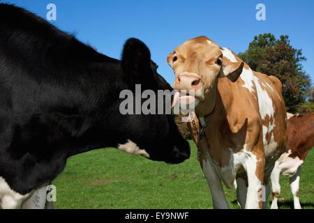 Vieh - Bräutigam eine Milchkuh Guernsey eine Milchkuh Holstein durch lecken ihr Gesicht / nahe Granby, Connecticut, - Stockfoto