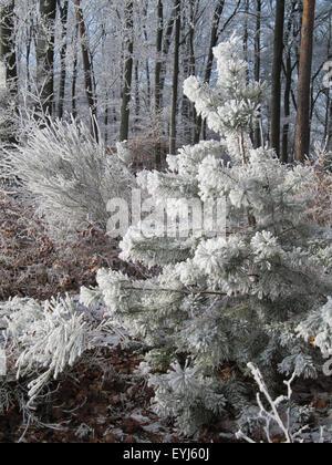 Tanne gefrostet mit Schnee, Deutschland. - Stockfoto