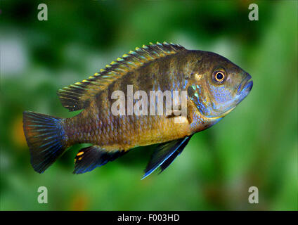 Rot-Schulter Malawi Pfau Cichlid, Mbunas Fort Maguire (Mbunas Hansbaenschi), Schwimmen - Stockfoto