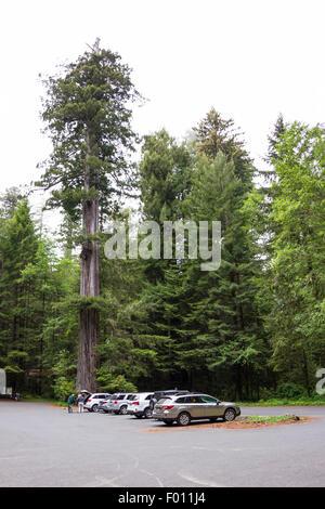 Redwood Bäume NP, Kalifornien - 17.Juni: Baumriesen überragt die Autos und Menschen auf dem Parkplatz, 17. Juni - Stockfoto
