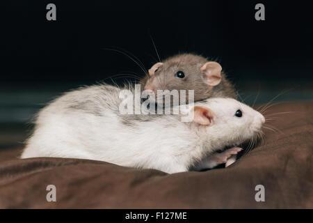 Domestizierte Haustier Ratten - Stockfoto