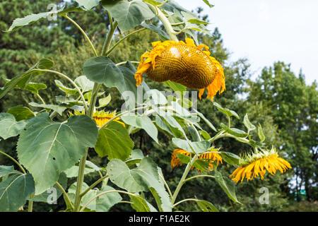 Verwelkt und herabhängenden Sonnenblumen Pflanzen - Stockfoto