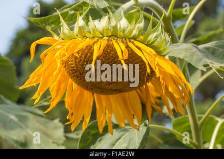 Verwelkte Sonnenblumen Pflanze aus nächster Nähe. - Stockfoto