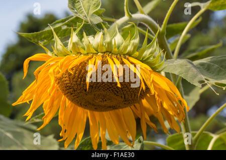 Verwelkte Sonnenblumen aus nächster Nähe - Stockfoto