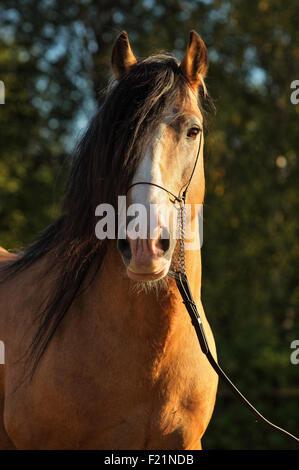 Tinker Reisenden pony - Stockfoto