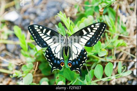Anis Schwalbenschwanz Schmetterling (Papilio Zelicaon) Ucluelet, Britisch-Kolumbien, Kanada - Stockfoto