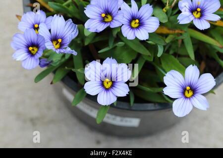 Sisyrinchium Bellum oder auch bekannt als Blue – Eyed Grass - Stockfoto