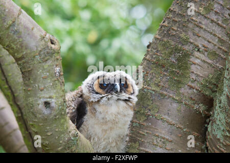 Young Asian braun Holz Eule - Stockfoto