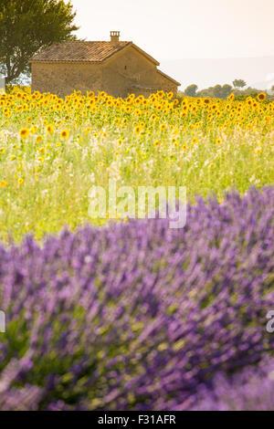 Plateau von Valensole, Provence Lavendel Feld in voller Blüte - Stockfoto