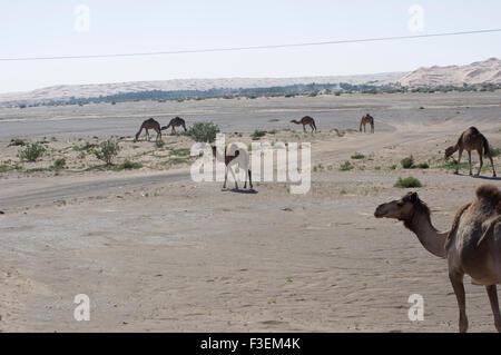 Kamele in der Nähe einer Straße in der al-Sharqiya Beweidung Wüstenlandschaft mit Sanddünen im Hintergrund in Oman - Stockfoto