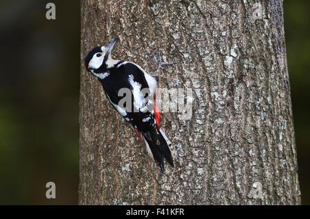 Ein Buntspecht auf einem Baumstamm UK - Stockfoto