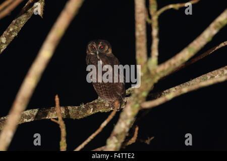 Braun Holz Eule (Strix Leptogrammica) in Thailand - Stockfoto