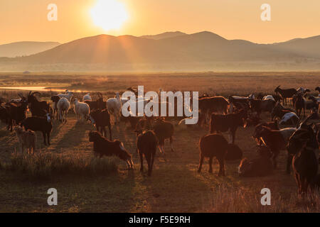 Fluss, Ger und Hintergrundbeleuchtung Herde von Ziegen und Schafen bei Sonnenaufgang im Sommer Nomaden Camp, Gurvanbulag, - Stockfoto