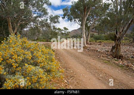 Steinige Outback-Landschaft mit schmalen Schotterweg Wicklung vorbei an Eukalyptusbäumen & golden Wildblumen, Senna, - Stockfoto