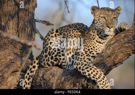 Leopard im Baum, ganz in der Nähe im morgendlichen Sonnenlicht - Stockfoto