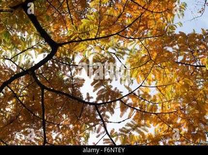 Metasequoia Glyptostroboides. Dawn Redwood-Baum im Herbst bei RHS Wisley Gardens, Surrey, England - Stockfoto