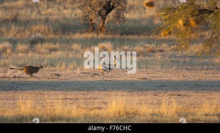 Geparden jagen nach einen Springbock im Kgalagadi Transfrontier Park - Stockfoto