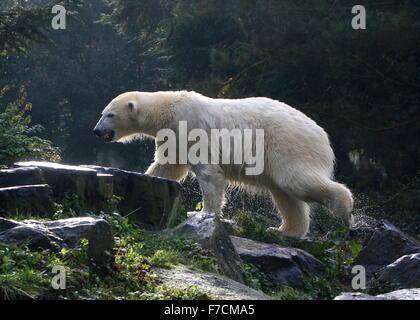 Einweichen nasse Reife Eisbär (Ursus Maritimus) nur nach dem Auftauchen aus dem Wasser, Hintergrundbeleuchtung von - Stockfoto