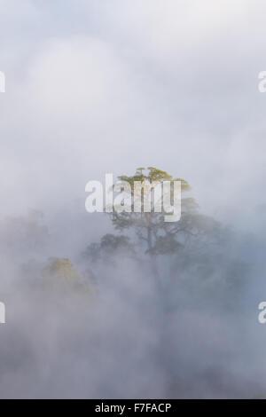 Frühen Morgennebel steigt im tropischen Regenwald, Danum Valley, Sabah, Malaysia - Stockfoto