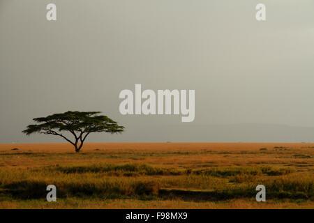 Eine einsame Akazie auf dem Serengeti einen nebligen und weiten Himmel - Stockfoto