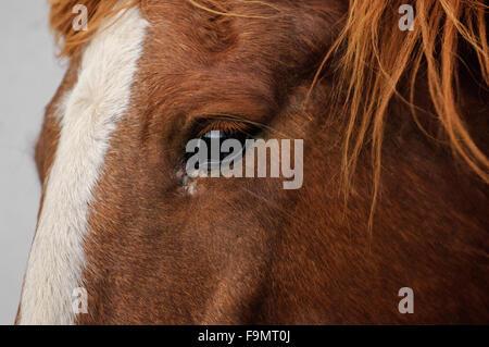 Nahaufnahme von der Seite des Gesichts und der Augen, ein Kastanien irischen Entwurf Vollblut Kreuz Pferd mit Blesse - Stockfoto