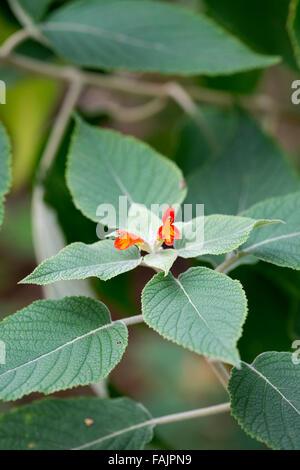 Colquhounia Coccinea. Scharlachrot blühende Colquhounia. Himalaya-Minze in Blüte - Stockfoto