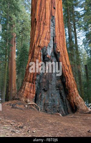 Alten Sequioa Baum gezeichnet von Waldbrand, Sequoia und Kings Canyon National Park, Kalifornien, USA - Stockfoto