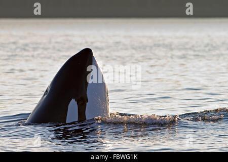 Transient Schwertwale (Orca, Orcinus Orca, T30 & T137) nach der Tötung ein Seelöwe von Malcolm Insel in der Nähe - Stockfoto