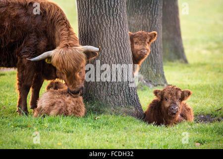 Niederlande, Schinveld, Natur behalten Roode Beek. Schottische Hochlandrinder - Stockfoto
