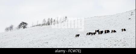 Belted Galloway Rinder weiden hoch auf einem schneebedeckten Hügel in Wolfscote Dale - Stockfoto