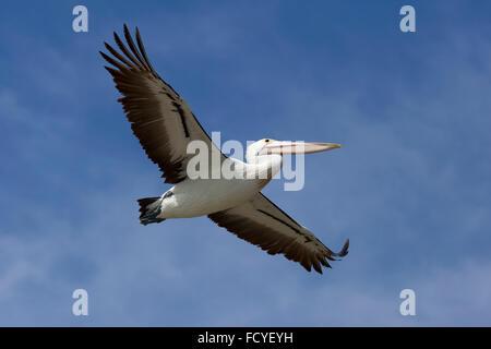 Fliegenden Pelikan in den blauen Himmel, Victoria, Australien - Stockfoto