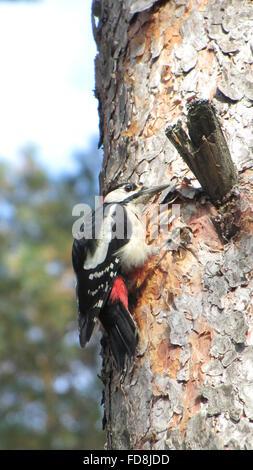 Spotted Woodpecker machen Nest Loch im Baumstamm - Stockfoto
