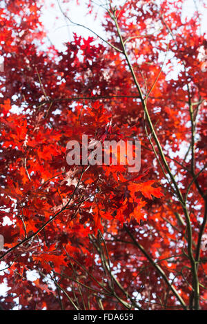 Quercus Rubra. Red Oak Leaf Baumkronen im Herbst Farbwechsel. UK - Stockfoto