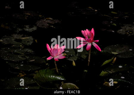 Lotus Seerose im Teich wachsen - Stockfoto