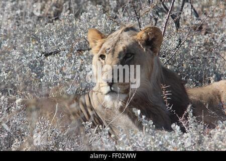 Majestätische schauende Löwen sitzt in einem Busch der grauen Pinsel - Stockfoto
