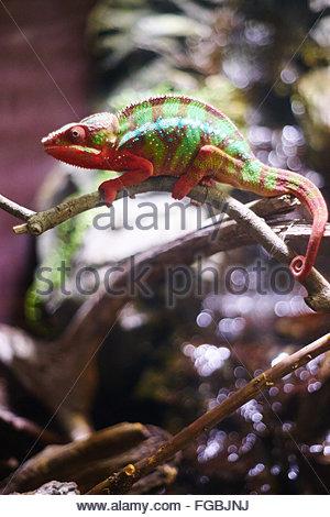 Nahaufnahme von Chameleon am Pflanzenstängel - Stockfoto