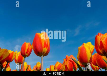 Rote und gelbe Tulpen, hautnah, mit niederländischen Himmelblau, Nordholland, Niederlande. - Stockfoto