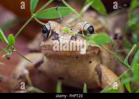 Moorfrosch/True frog Closeup Portrait. Makro eines europäischen Frosch - rana arvalis. Bild in einem Wald aufgenommen. - Stockfoto