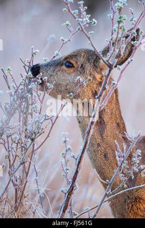 Reh (Capreolus Capreolus), ernährt sich Doe im Winter, Deutschland, Brandenburg - Stockfoto