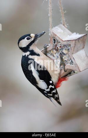 Buntspecht (Picoides major, Dendrocopos großen), Weibchen Winterfütterung Standort, Deutschland - Stockfoto