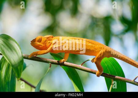 Furcifer Pardalis: eine orange Pantherchamäleon auf einem Ast - Stockfoto