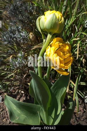 Zwei gefüllte gelbe Tulpen im Sonnenlicht in einem Garten - Stockfoto