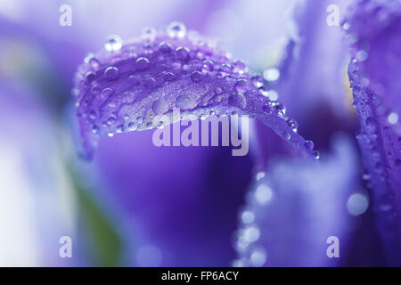 Lila Iris Blütenblätter mit Wassertropfen, Nahaufnahme - Stockfoto