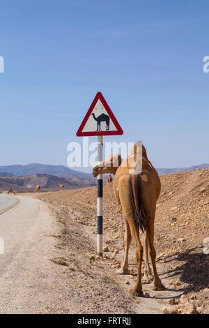Kamel Warnzeichen Straße in Dhofar, Oman. - Stockfoto