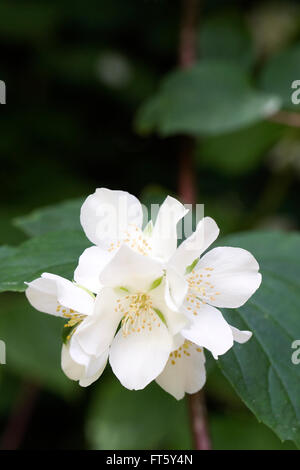 Philadelphus blüht im Sommer. Mock Orange Blüten. - Stockfoto