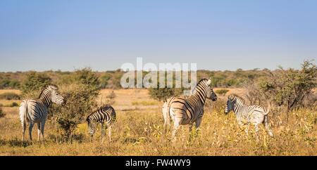 Zebra-Familie mit Baby Zebra in Botswana, Afrika - Stockfoto