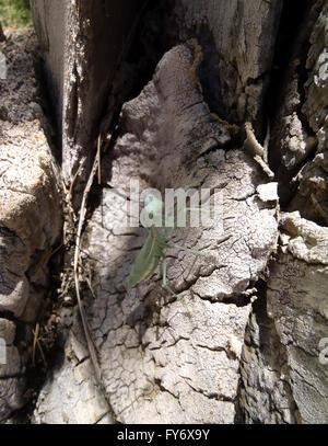 Nahaufnahme von einem beten Mantis Hangsout auf der Seite eine königliche Palme - Stockfoto