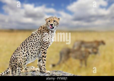 Geparden in Savanne in Afrika, Nationalpark in Kenia - Stockfoto