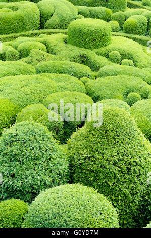 Box, Common, Buxus, Buxus Sempervirens, natürliche Schönheit, Buchsbaum, Farbe, kreativ, Europa indigene, Europäische - Stockfoto