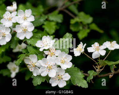 Weissdorn Blüte. Schöne weiße Blüten. - Stockfoto